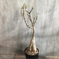 パキポディウム  サキュレンタム 5 塊根植物 コーデックス多肉植物 現地球