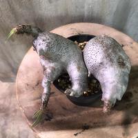 パキポディウム グラキリス 519 多肉植物 塊根植物 コーデックス マダガスカル現地株