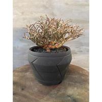 ユーフォルビア スピナエ 魔針殿 塊根植物 コーデックス