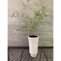 オペルクリカリア パキプス 実生株  塊根植物 コーデックス