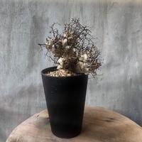チレコドン レティキュラーツス 万物想 塊根植物 コーデックス 現地球