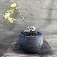 ディオスコレア エレファンティペス 亀甲竜  SPUTNIK Lサイズ塊根植物 コーデックス