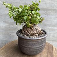 ディオスコレア エレファンティペス 亀甲竜  信楽焼 塊根植物 コーデックス  現地球 送料着払い