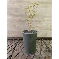 ユーフォルビア バルサミフェラ 海外実生 信楽鉢 塊根植物 コーデックス 冬型植物
