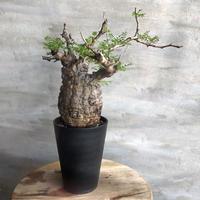 オペルクリカリア パキプス 102 塊根植物 コーデックス 現地球