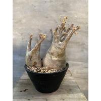 パキポディウム グラキリス  2ヘッド 21番 塊根植物 コーデックス マダガスカル現地球