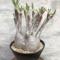 パキポディウム  グラキリス 470 塊根植物 コーデックス マダガスカル現地球