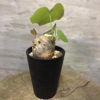 プセウドボンバックス エリプチカム  Pseudobombax ellipticum 19 塊根植物 コーデックス 現地球