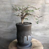 センナ メディオナリス 40 潅木 塊根植物 コーデックス マダガスカル現地球