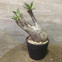 パキポディウム  グラキリス  201 塊根植物 コーデックス