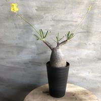 パキポディウム グラキリス 431 塊根植物 コーデックス 現地球