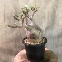 パキポディウム グラキリス  510 塊根植物 コーデックス マダガスカル現地球