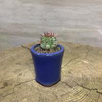 ユーフォルビア ホリダ 21 塊根植物 コーデックス 実生
