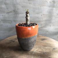 パキポディウム  バロニー 実生 DOMANI fes塊根植物 コーデックス