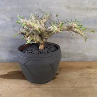 モンソニア パターソニー suptnik アロー 塊根植物 コーデックス 南アフリカ現地球
