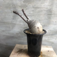 パキポディウム グラキリス  388 塊根植物 コーデックス 現地球