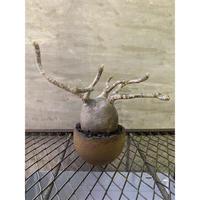 パキポディウム グラキリス 13 塊根植物 コーデックス マダガスカル現地球