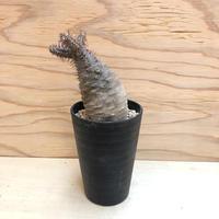 パキポディウム グラキリス  352 多肉植物 塊根植物 コーデックス