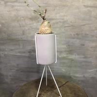フォッケア  エデュリス 火星人 スタンドポット コーデックス  塊根植物