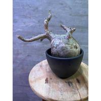 パキポディウム グラキリス 12 塊根植物 コーデックス  現地球  発送着払い