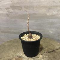 オペルクリカリア パキプス 実生株 14 塊根植物 コーデックス 現地球