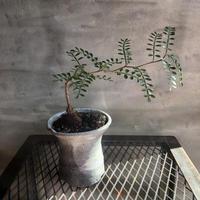 オペルクリカリア パキプス 実生株 54 塊根植物 コーデックス