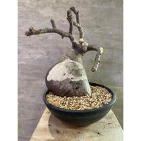 パキポディウム グラキリス  655 塊根植物 コーデックス 現地球 発送着払い