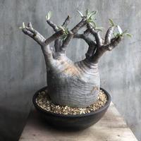 パキポディウム  グラキリス 511 塊根植物 コーデックス マダガスカル現地球