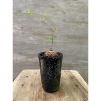 アフリカ亀甲竜 suptnik シリンダーSサイズ 塊根植物 コーデックス 送料着払い