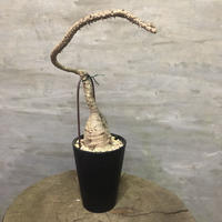 パキポディウム  ウィンゾリー  塊根植物 コーデックス 現地球
