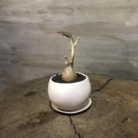 キフォステンマ ユッタエ  実生 塊根植物 コーデックス