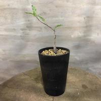 オペルクリカリア パキプス 実生株 28 塊根植物 コーデックス