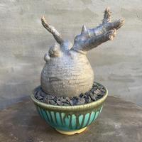 パキポディウム グラキリス 塊根植物 コーデックス 現地球