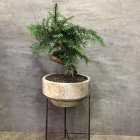 アロカリアスギ 塊根植物 コーデックス