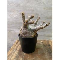 発送着払い パキポディウム グラキリス  762 塊根植物 コーデックス 現地球