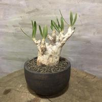 パキポディウム イノピナーツム  36 塊根植物 コーデックス 現地球