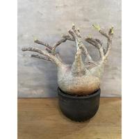 パキポディウム  グラキリス 99番 塊根植物 コーデックス