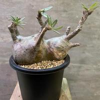 パキポディウム グラキリス 703 塊根植物 コーデックス マダガスカル現地球