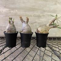 パキホディウム グラキリス 豆グラ 塊根植物 コーデックス マダガスカル現地球