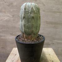 ユーフォルビア オベサ 41 塊根植物 コーデックス 多肉植物 発送着払い