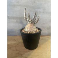 パキポディウム グラキリス 60番 塊根植物 コーデックス  マダガスカル現地球