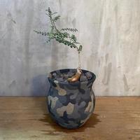 オペルクリカリア パキプス 実生株 × left botanical 塊根植物 コーデックス 多肉植物