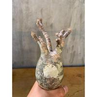 パキホディウム グラキリス  13番 塊根植物  コーデックス マダガスカル 現地球