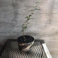 オペルクリカリア パキプス 実生株 53 塊根植物 コーデックス