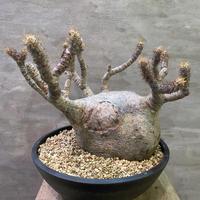 パキポディウム グラキリス 688 塊根植物 コーデックス 現地球 発送着払い