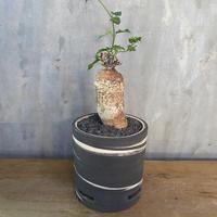 フォッケア エデュリス 火星人 × clayman 白樺シリンダー Sサイズ 塊根植物 コーデックス