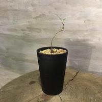 オペルクリカリア パキプス 実生株 16 塊根植物 コーデックス