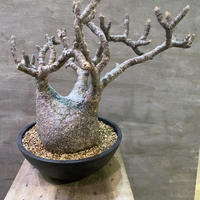 パキポディウム グラキリス  755 塊根植物 コーデックス  マダガスカル現地球 発送着払い