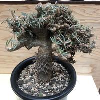 パキポディウム グラキリス  綴化 塊根植物 コーデックス 現地球