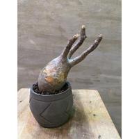 パキポディウム グラキリス 749suptnik アローSサイズ  塊根植物 コーデックス 現地球 発送着払い